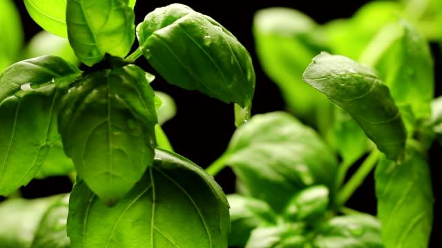 vídeos de stock e filmes b-roll de fresh green basil leaves closeup, rotating - manjericão