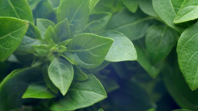 vidéos et rushes de basilic vert feuilles agrandi. - plante aromatique