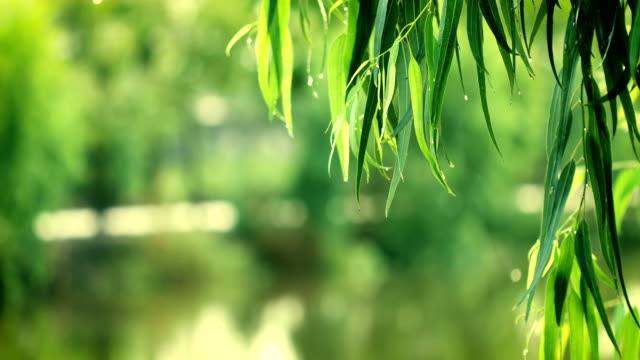 färska gröna gren lämnar av eukalyptusträd nära floden, 4k dci-upplösning - eucalyptus leaves bildbanksvideor och videomaterial från bakom kulisserna