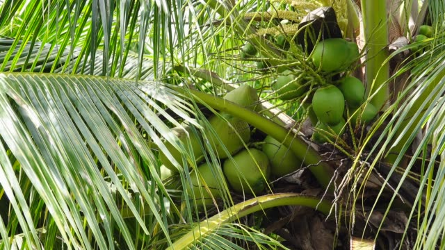Fresh green coconut on palm tree. Coconut palm tree with yellow flower and green coconut fruit in tropical country,4K video.  Fresh green coconut on palm tree. coconut palm tree stock videos & royalty-free footage