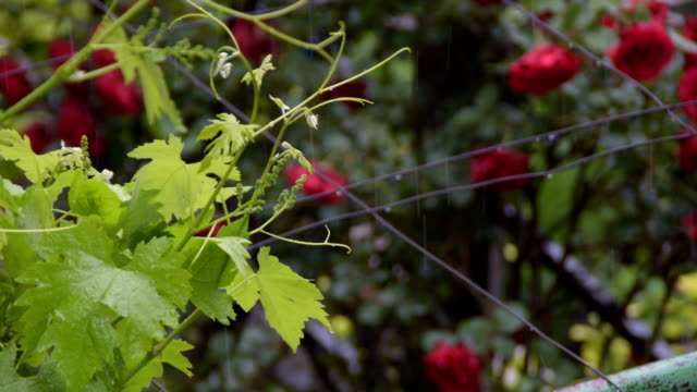 Fresh green grapevine in the spring rain - a bush of red roses in the background