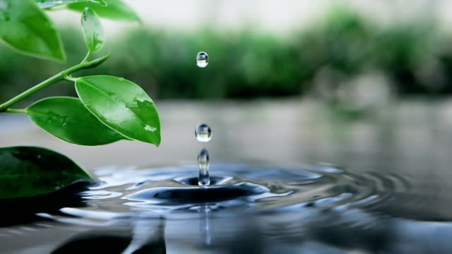 Video fresh green leaf with water drop over the water , nature leaf branch relaxation with water ripple drops concept , slow motion shot