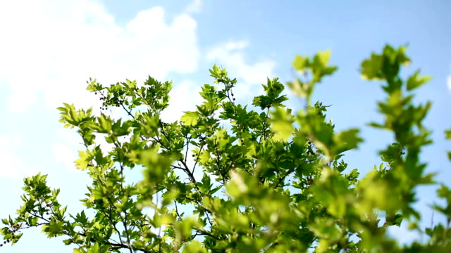 Fresh green leaves against blue sky with fluffy white clouds video