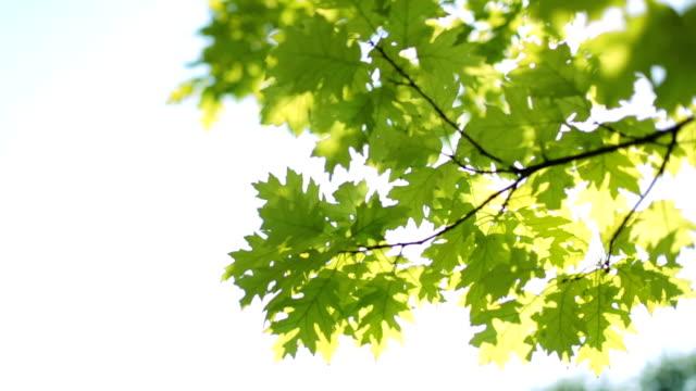 新鮮な緑の葉 - 木漏れ日点の映像素材/bロール
