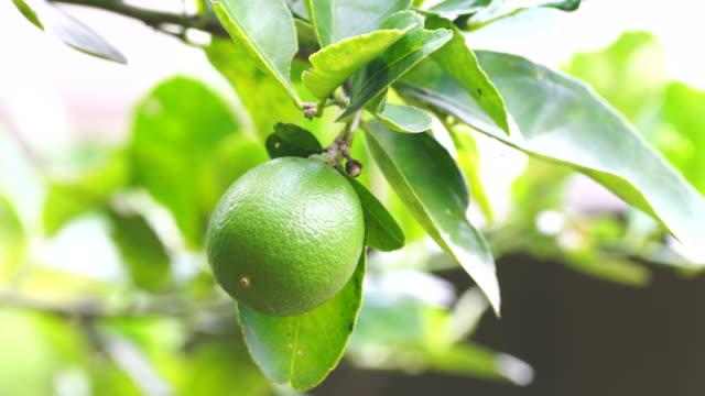 Fresh green lime or green lemon. video