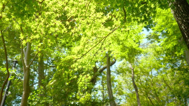 Fresh green maple leaves waving in forest