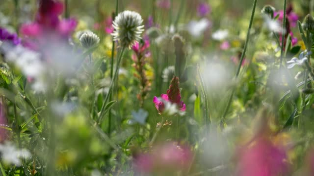 Fresh green meadows and blooming flowers. Camera moving through alpine meadow with colorful flowers