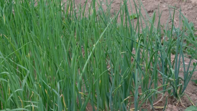 fresh green onion plant in organic hobby garden, - alliacee video stock e b–roll