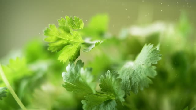 Fresh green parsley leaves falling down. Beauty shot.