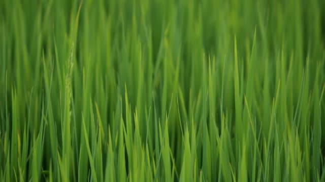 新緑米。 - 水田点の映像素材/bロール