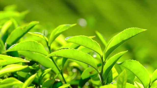frische grüne teeblätter aus nächster nähe auf teeplantagen in munnar, kerala, indien. - grüner tee stock-videos und b-roll-filmmaterial