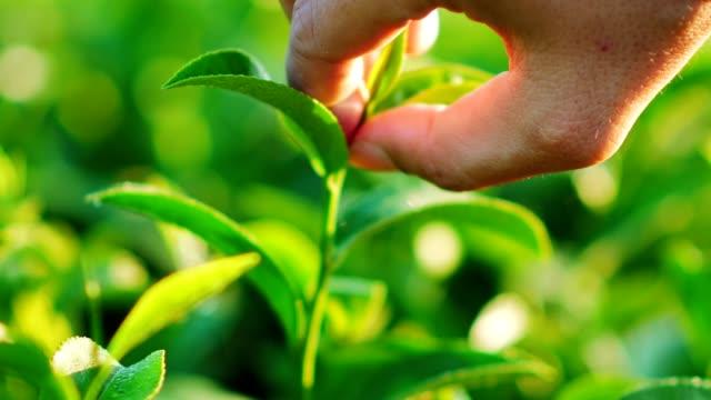 vidéos et rushes de feuilles fraîches de thé vert dans une plantation de thé au soleil de matin. - thé boisson chaude