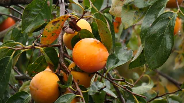 vídeos de stock e filmes b-roll de fresh grouth persimmon in rain korea - diospiro