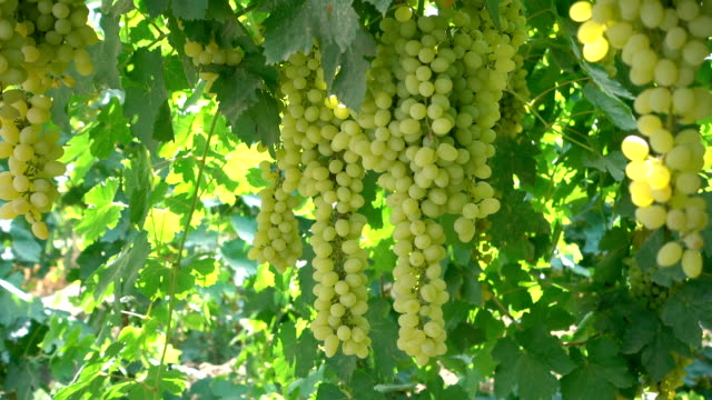 fresh hanging grapes - uva riesling bianco video stock e b–roll