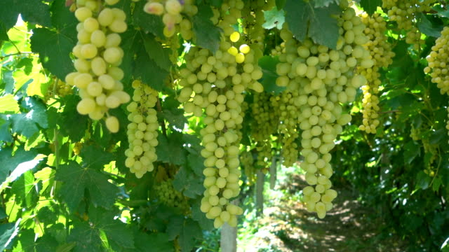 uve fresche appese - uva riesling bianco video stock e b–roll