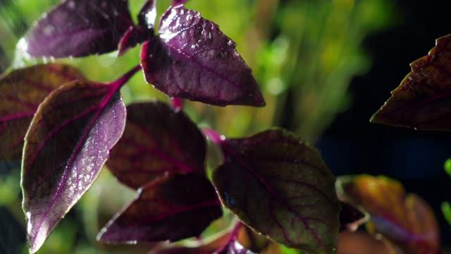 Herbes fraîches gros plan - Vidéo