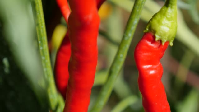 Fresh hot red peppers on vines cultivated in the garden 4K