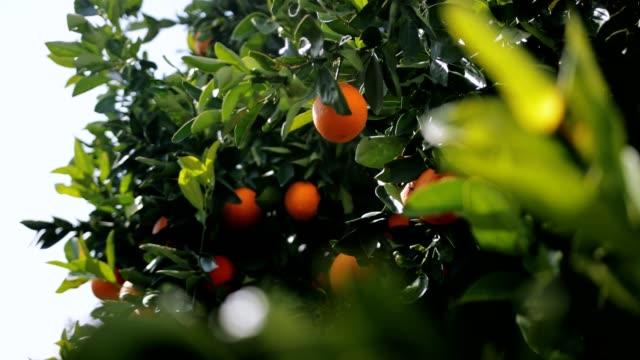vídeos de stock, filmes e b-roll de laranjas frescas suculentas, pendurado nas árvores do campo laranja - punhado