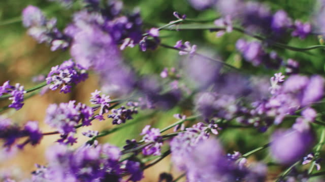 Fresh lavender flowers blooming on sunny day Close-up of fresh purple flowers on field. Handheld shot of lavender plants blooming on sunny day. They are growing in farm. lavender plant stock videos & royalty-free footage