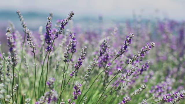vídeos de stock e filmes b-roll de fresh lavender flowers wiggling in wind on field - lavanda planta
