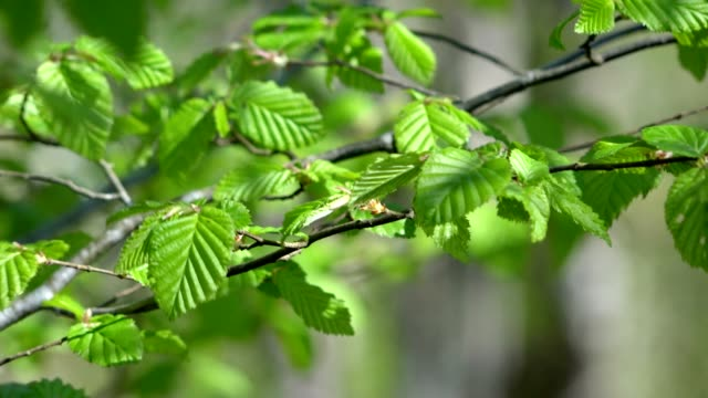 Fresh leaves swaying in the wind at spring video