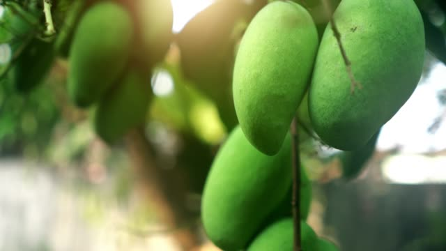 Fresh Mango Mango on the tree mango stock videos & royalty-free footage