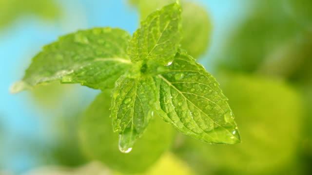 fresh mint video
