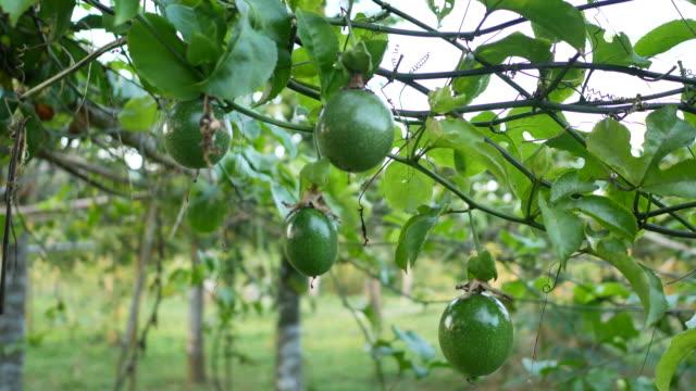 fresh nature unripe passion fruit - video di passiflora video stock e b–roll