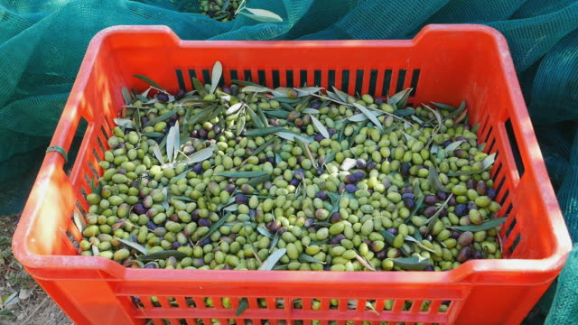Fresh olives in the box and on the picking net, Liguria, Italy. Fresh olives in the box and on the picking net. Harvesting in Liguria, Italy, Taggiasca or Caitellier cultivar. Olive oil production, harvest in autumn, organic farm olive orchard. olives stock videos & royalty-free footage