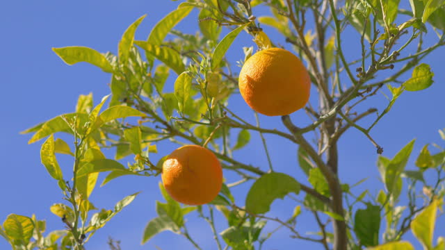 Fresh oranges growing in the tropical garden in 4k slow motion 60fps video