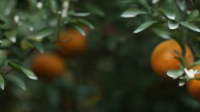 fresh oranges on tree in the garden. - white background стоковые видео и кадры b-roll