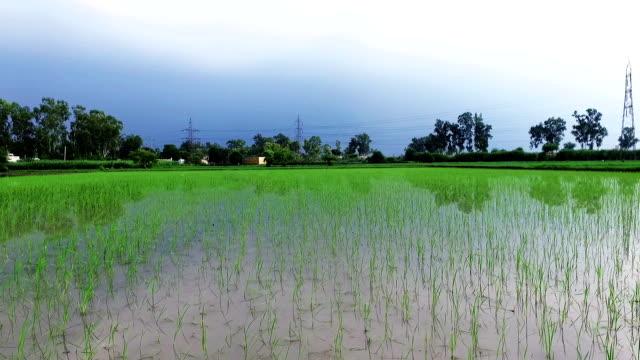 färsk paddy gröda förhöjda visa - haryana bildbanksvideor och videomaterial från bakom kulisserna