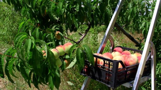 świeżych brzoskwiń upraw podczas zbiorów w orchard - brzoskwinia drzewo owocowe filmów i materiałów b-roll