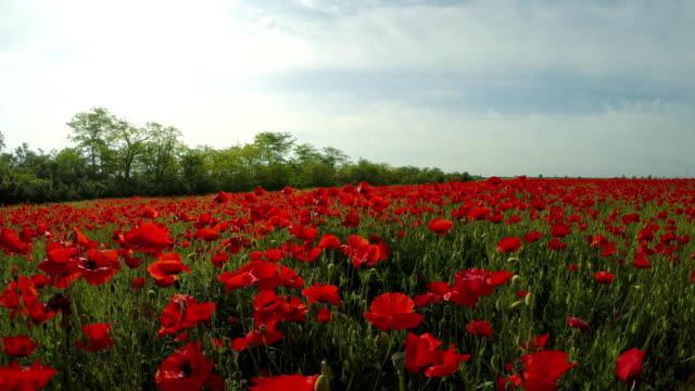 Fresh Poppy Field Under Grey Sky video