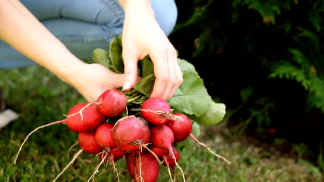 Fresh radish in the womans hands video