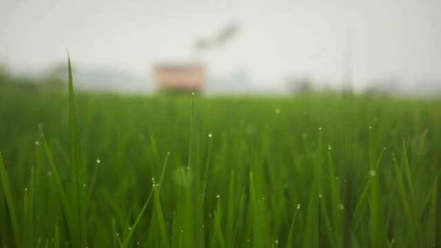Fresh rain water drops on bright green grass field with farmer's house video