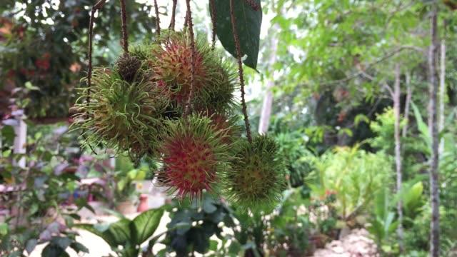 Fresh ripe rambutan fruits