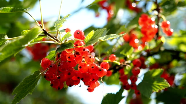 Fresh ripe red currants in the garden in HD video