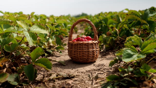 fresh ripe red strawberries in the basket - 4k video - fragole video stock e b–roll