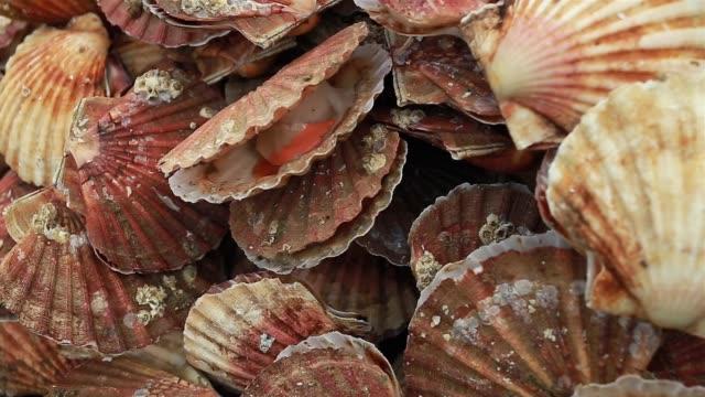 Pétoncles frais au marché de poisson en Normandie, France. - Vidéo