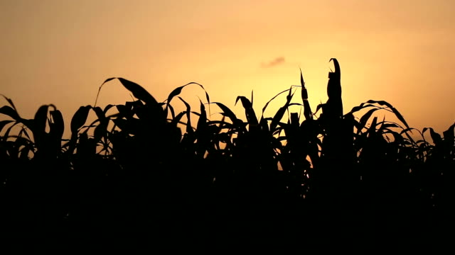 fresh sorghum crop and sunset - харьяна стоковые видео и кадры b-roll