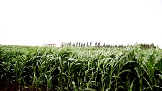 fresh sorghum crop swaying through wind - харьяна стоковые видео и кадры b-roll