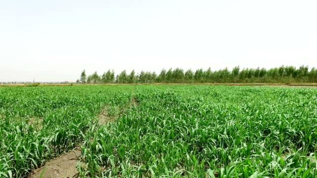 fresh sorghum crop use as animal fodder - haryana video stock e b–roll