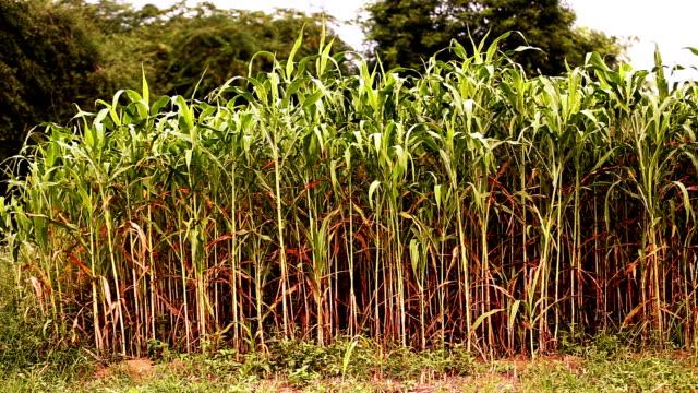 fresh sorghum crop - харьяна стоковые видео и кадры b-roll