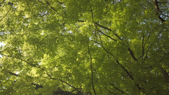 Verse lente bladeren op een paardenkastanje boom in Canon Hill Park, Birmingham. video