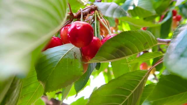 Fresh sweet cherries Cherry tree to nature cherry stock videos & royalty-free footage