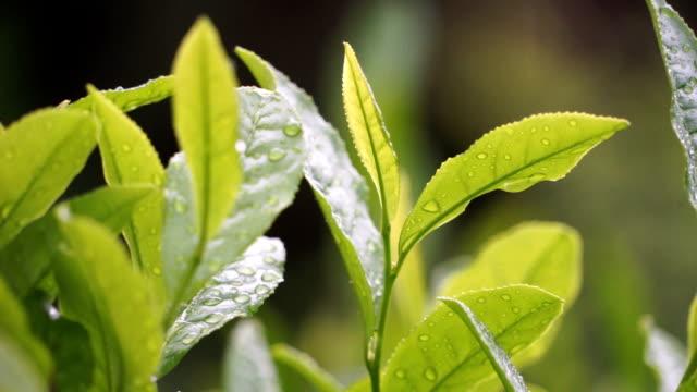 fresh tea leaves - куст стоковые видео и кадры b-roll
