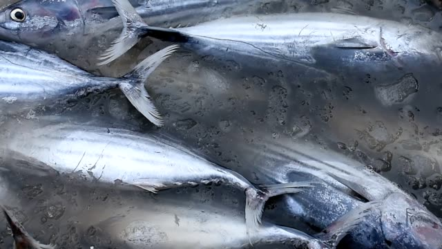 fresh tuna packed by vendors with ice in the fish market to be marketed outside the region - banchi di pesci video stock e b–roll