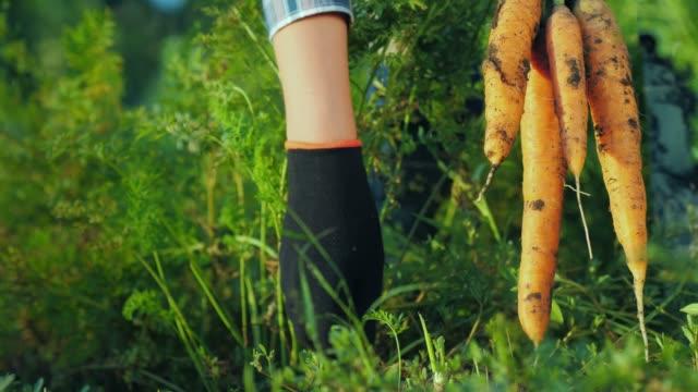 färska grönsaker från trädgården-närbild kycklingar dra morötter ur marken - morot bildbanksvideor och videomaterial från bakom kulisserna