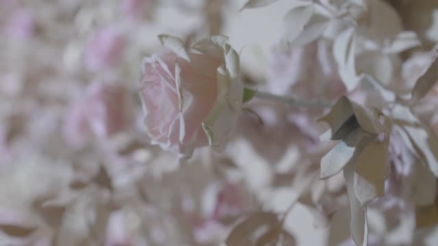 fräscha vita och beige rosor - white roses bildbanksvideor och videomaterial från bakom kulisserna